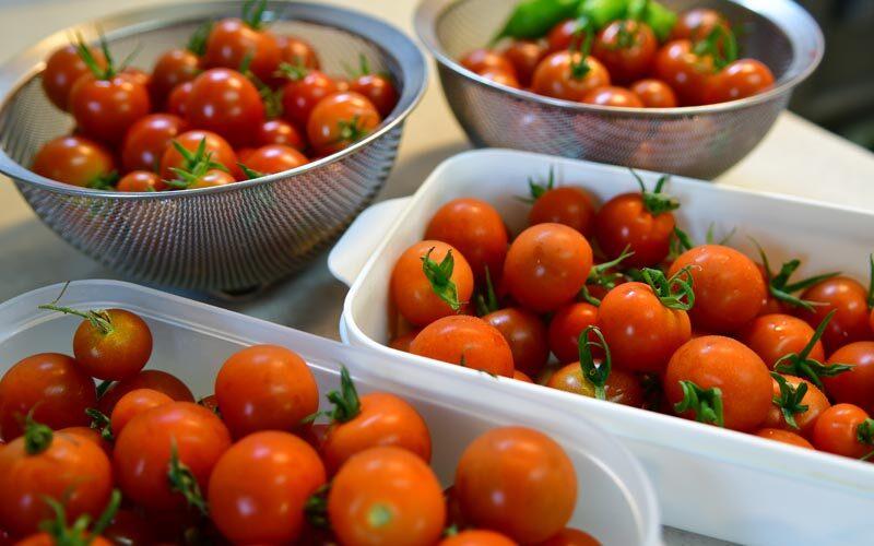 トマト大豊作〜わき芽栽培のスゴ技!